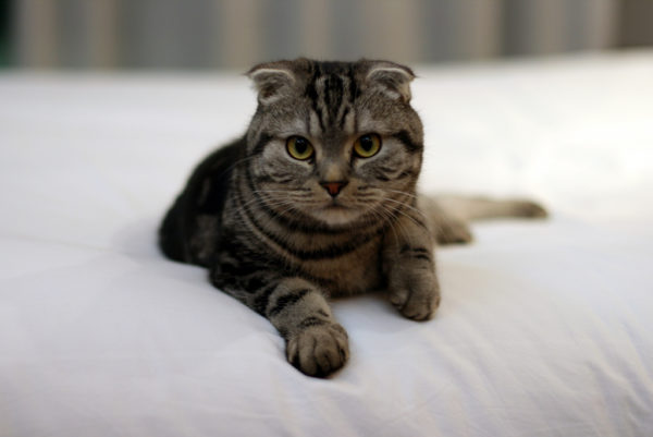 scottish-fold-1