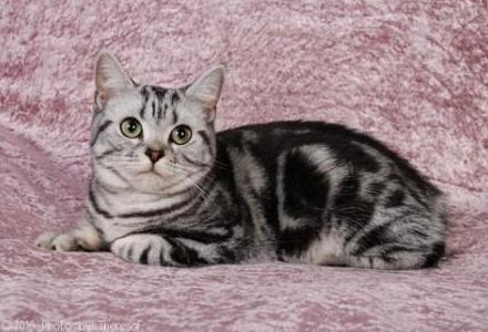 american-shorthair-cat-breed