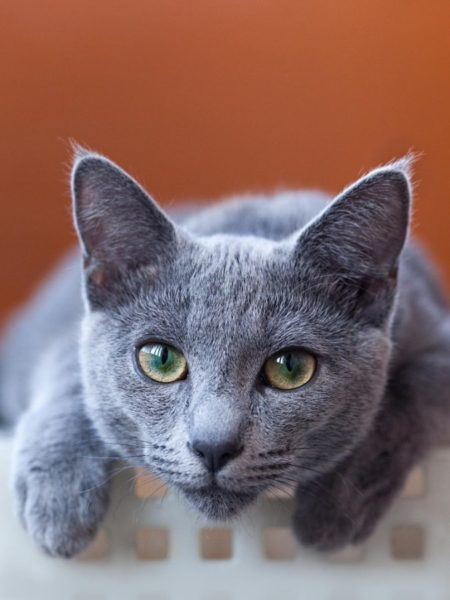 russian-blue-cat-behavior